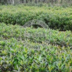 苗圃供应湖南 法国冬青规格齐全 灌木类园林植物绿化植物冬青小苗 60-200 20-80