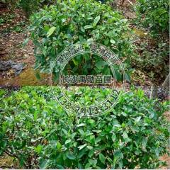 苗圃基地供应湖南 栀子花球形 规格齐全实地考察灌木类园林植物 22-50 10-30