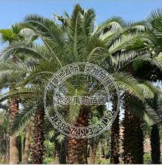 苗木基地直供海藻 风景树 棕榈类园林植物
