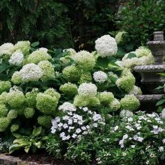 现货乔木绣球花'贝拉安娜' 3L盆栽苗木 花超大