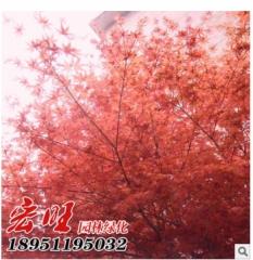 批发日本红枫树苗园林绿化苗木嫁接盆栽日本红枫小苗观叶盆景植物 10 50