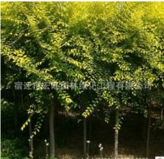 金叶榆树苗批发橡胶树 金叶垂榆小苗园林绿化植物高嫁接金叶榆球