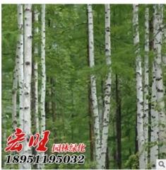 热销小区绿化白桦小苗 丛生白桦 各种规格白桦小苗 成活率高 50-22 1-25