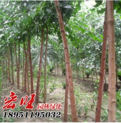 批发丝绵木树苗 米径3.5树型优美成活率高 园林绿化苗木丝绵木苗 1.5 米径3.5