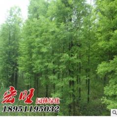 基地直销优质落羽杉树苗 园林绿化苗落羽杉 行道树 规格齐全 粗3 100-300