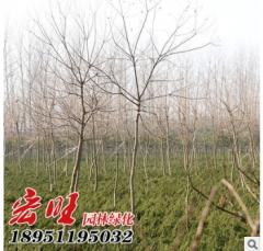 乌桕树小苗 园林绿化乔木 乌桕苗10-15公分粗 乌桕树