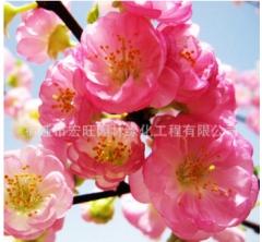 批发榆叶梅树苗庭院观花植物 精品盆景榆叶梅 工程绿化苗木