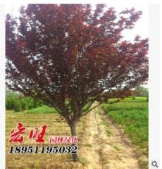 基地紫叶李批发色块工程树木 供应红叶李树绿化工程树木