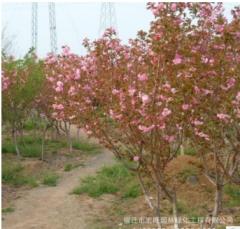 日本樱花树苗批发园林绿化苗木庭院盆栽樱花种苗花卉植物