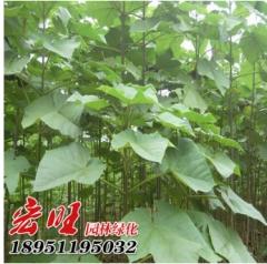 泡桐树苗批发绿化苗木景观造型绿植泡桐树小苗紫花泡桐行道树 100-300 2
