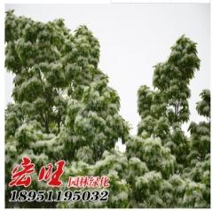 基地批发流苏树苗 规格齐全 流苏大小苗行道树 绿化工程苗 100-300 4