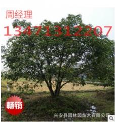 供应广西丛生桂花树八杆40公分桂花树,广西桂花树,精品桂花树