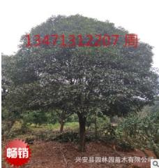 供应广西低分支高分支桂花树19公分,广西桂花树,桂林桂花树
