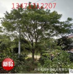 供应国槐树30公分,广西精品特供国槐,广西国槐树
