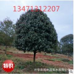 供应广西低分支高分支桂花树5公分,桂林桂花树,广西桂花树