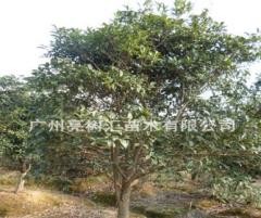 亮树汇供应绿化苗木 桂花树苗 价格优惠 质量保障 桂花树 50 30