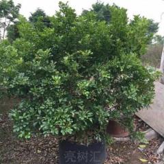 出售花卉苗木 家庭盆栽 米兰花 芳香浓郁 驱蚊子 耐阴易栽培 50 60