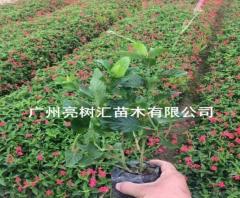 供应大花芦莉袋苗 绿化工程植物 基地直销 15-30 30