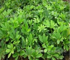 基地直销 鹅掌柴10-25高 护坡绿化 观叶盆栽花境鸭脚木 10-25 10-20
